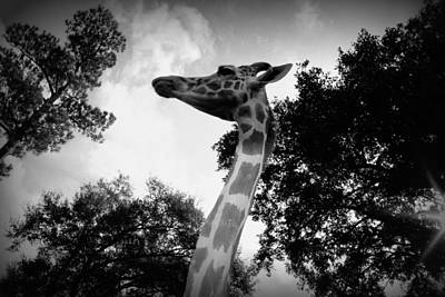 Giraffe Bw - Global Wildlife Center Art Print by Beth Vincent