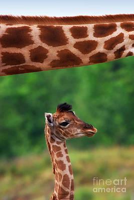 Photograph - Giraffe Calf Below The Neck Of Her Mother by Nick  Biemans