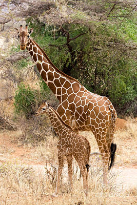Photograph - Giraffe Calf With Mother by Chris Scroggins