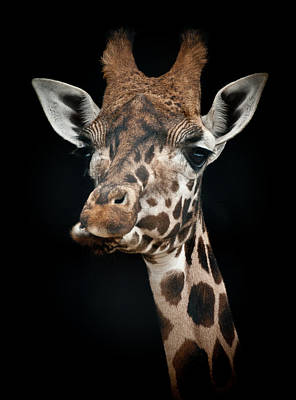 Giraffe Art Print by Chris Boulton