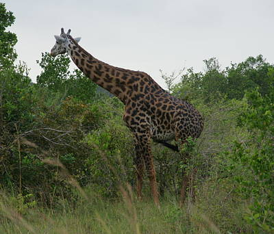 Photograph - Giraffe by Christian Zesewitz