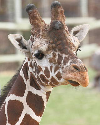Photograph - Giraffe by Coby Cooper