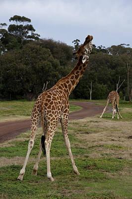 Giraffe Dance Art Print by Graham Palmer