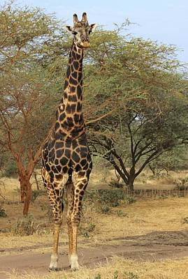 Photograph - Giraffe by Dave Hall