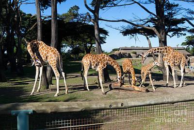 Somalia Photograph - Giraffe Dsc2872 by Wingsdomain Art and Photography