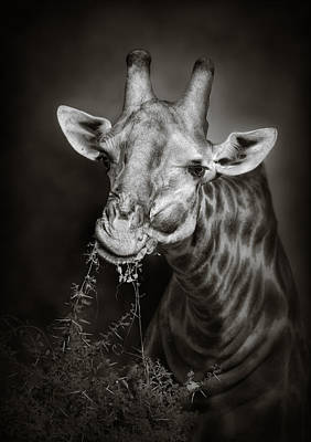 Black And White Images Photograph - Giraffe Eating by Johan Swanepoel