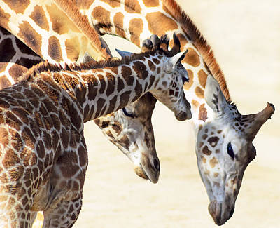 Giraffe Wall Art - Photograph - Giraffe Family by Camille Lopez