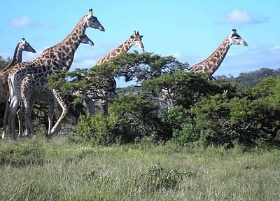 Photograph - Giraffe Family Group by Karen Jane Jones