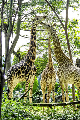 Animals Photograph - Giraffe Family by Jijo George