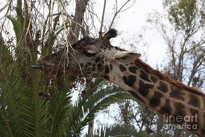Giraffe Feeding Art Print by John Telfer