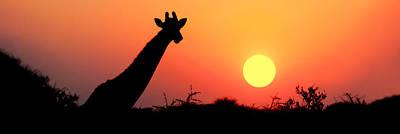 Giraffe Giraffa Camelopardalis Art Print by Panoramic Images