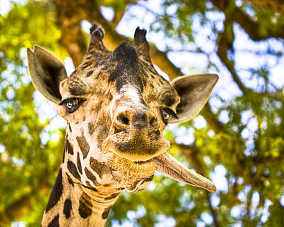 Photograph - Giraffe Gives A Raspberry by Mark E Tisdale