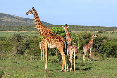 Photograph - Giraffe Group On The Masai Mara by Aidan Moran
