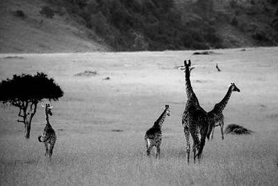 Giraffe In Black And White Print by Sebastian Musial
