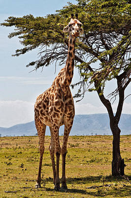 Photograph - Giraffe In The Mara by Perla Copernik