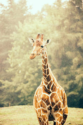 Giraffe In The Rain Print by Pati Photography