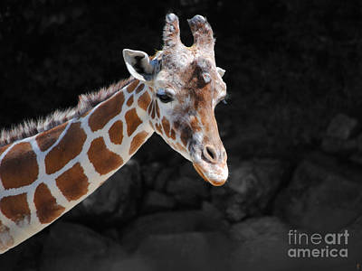 Photograph - Giraffe by Jai Johnson
