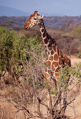 Photograph - Giraffe by Jim DeLillo