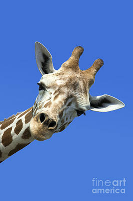 Portraits Royalty-Free and Rights-Managed Images - Giraffe by John Greim