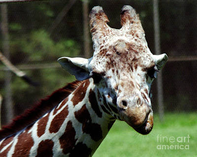 Photograph - Giraffe Looking by Tom Brickhouse