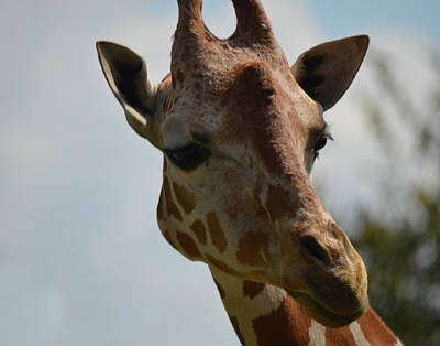 Photograph - Giraffe by Maggy Marsh