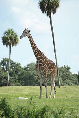 Photograph - Giraffe by Mandy Shupp