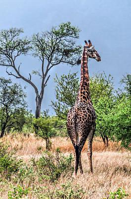Photograph - Giraffe by Maria Coulson