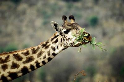 Photograph - Giraffe Masai Race by Mary Beth Angelo
