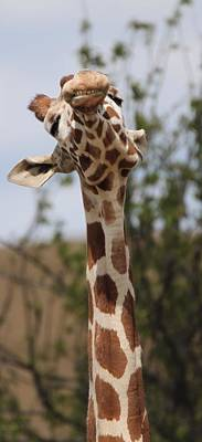 Carrot Photograph - Giraffe Neck And Teeth by Dan Sproul