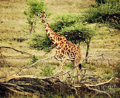 Giraffe On African Savanna Art Print by Michal Bednarek