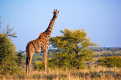 Mouth Photograph - Giraffe On Savanna. Safari In Serengeti. Tanzania. Africa by Michal Bednarek