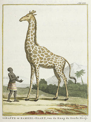 Categories Photograph - Giraffe Or Kameel-paart by British Library