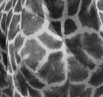 Giraffe Abstract Photograph - Giraffe Pattern Black And White by Dan Sproul