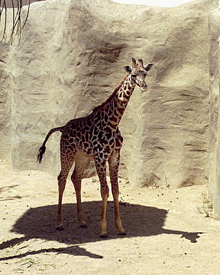 Photograph - Giraffe by Philomena Zito