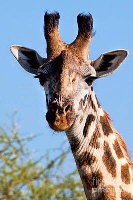 African Photograph - Giraffe Portrait Close-up. Safari In Serengeti. by Michal Bednarek
