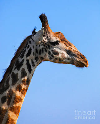 Animals Photograph - Giraffe Portrait Close-up. Safari In Serengeti. Tanzania by Michal Bednarek