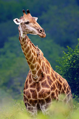 Bush Photograph - Giraffe Portrait Closeup by Johan Swanepoel