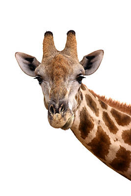 Mammals Royalty-Free and Rights-Managed Images - Giraffe portrait by Johan Swanepoel
