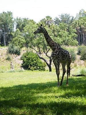 Photograph - Giraffe by Ronda Douglas