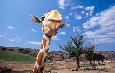 Photograph - Giraffe At The San Diego Wild Animal Park by George D Lepp