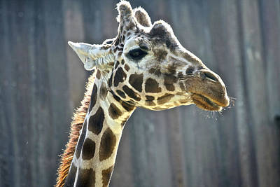 Photograph - Giraffe by SC Heffner
