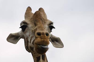 Framed Art Digital Art - Giraffe Sticking Out Tongue by Chris Flees