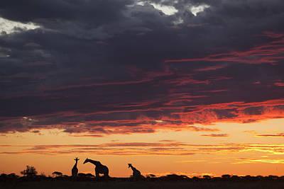 Photograph - Giraffe Trio At Sunset Nxai Pan Np by Theo Allofs