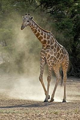 Herbivorous Photograph - Giraffe Walking In The Kalahari by Tony Camacho