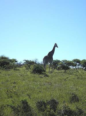Photograph - Giraffe Walking Tall by Karen Jane Jones