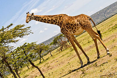Photograph - Giraffe Walking To Their Tree by Perla Copernik