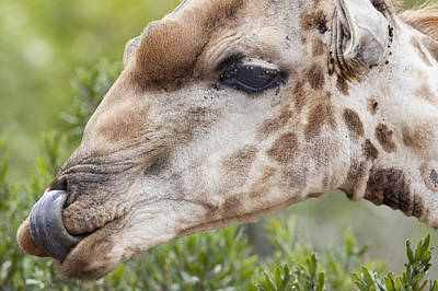 Giraffe With Tongue In Nostril Art Print by Sean McSweeney