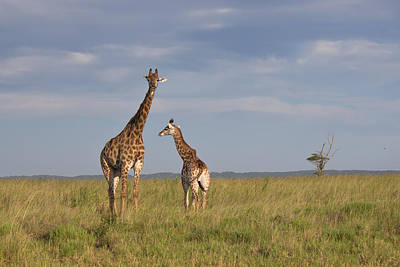 Photograph - Giraffe With Young by Havard Rosenlund