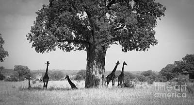 Photograph - Giraffes And Baobab Tree by Chris Scroggins