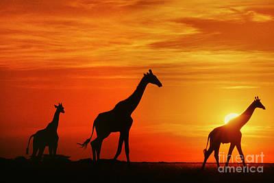 Photograph - Giraffes At Sunset Chobe Botswana by Frans Lanting MINT Images
